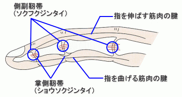 finger-ligament
