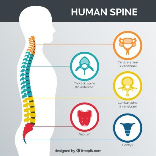 human-spine